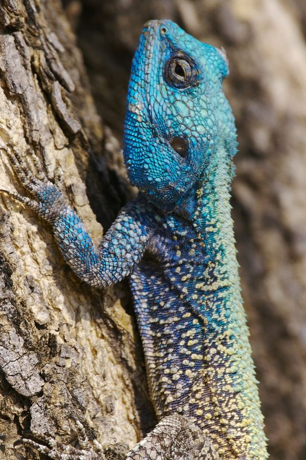 Southern Tree Agama (also called Blue Headed Lizard). In the Lowveld and the Hoedspruit area all the males have blue heads and it stops at the shoulders. The females do not have blue heads.