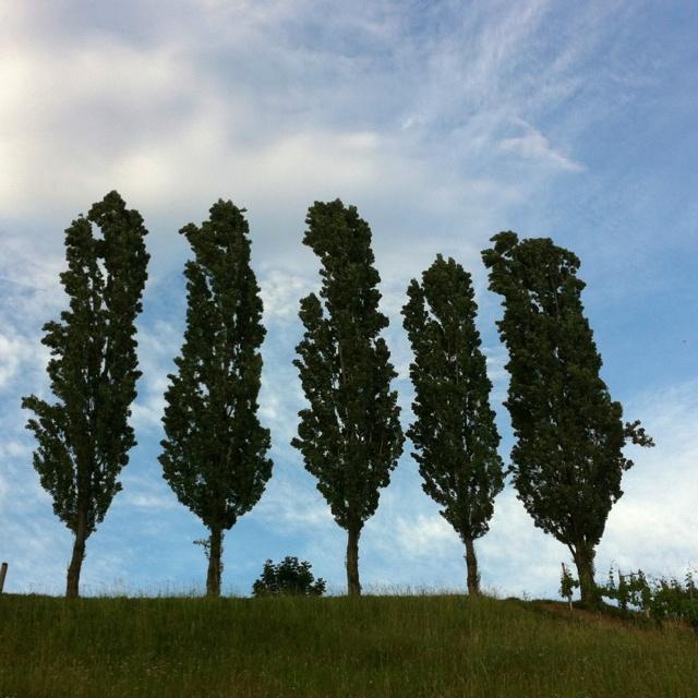 Pappeln im Abendwind. Poplars in the evening breeze. Λεύκες στο βραδυνό αέρα.