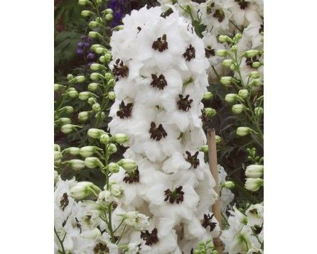 Ostróżka ogrodowa (Delphinium cultorum) Magic Fountain White Dark Bee - Szkółka Bylin | KrainaBylin