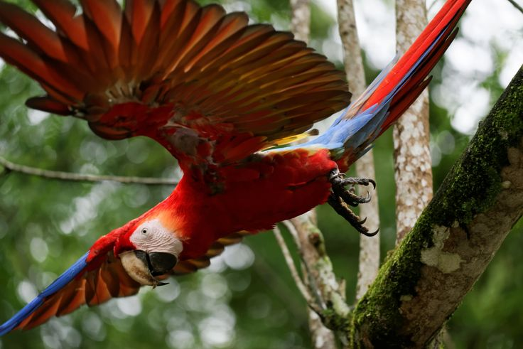 Parrot Ara Macao by Tomas Mähring on 500px. Parrot Ara Macao in Copan (Honduras) #animal #animals #ara #bird #copan #fly #flying #guatemala #honduras #macao #parrot #red