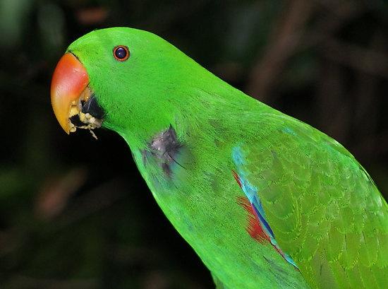 Green #green, #bird, #eclectus, #parrot