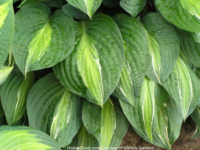 shade plants for windows 179 best hostas images on pinterest shade plants hosta plants