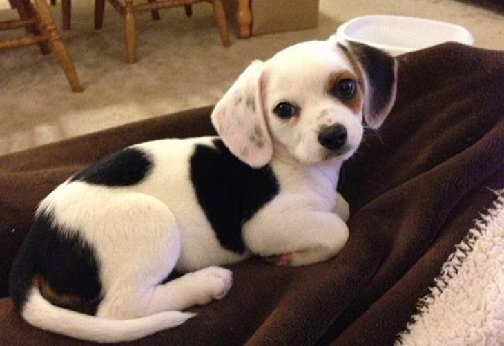 perros de raza mestiza encantadores                        Chihuahua Beagle