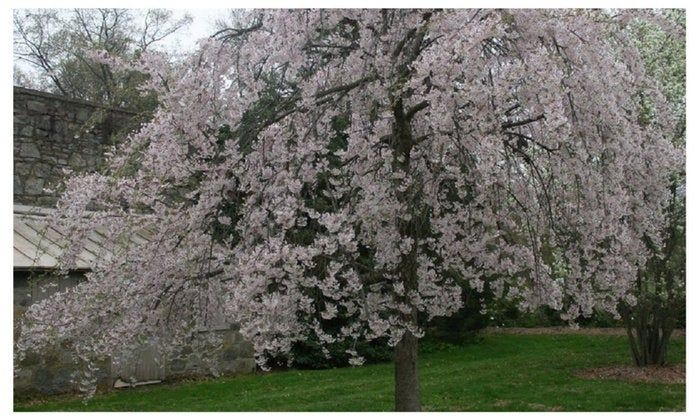 Pin On Flowering Trees And Shrubs