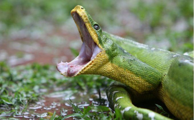 エメラルドツリーボアの特徴と飼育方法を紹介 グリーンパイソンとの違いやどんな性格をしているの Woriver トカゲ ヤモリ どんより ヘビ