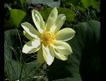 Lotus - Guidelines for Growing from Seed by Babs Ellinwood