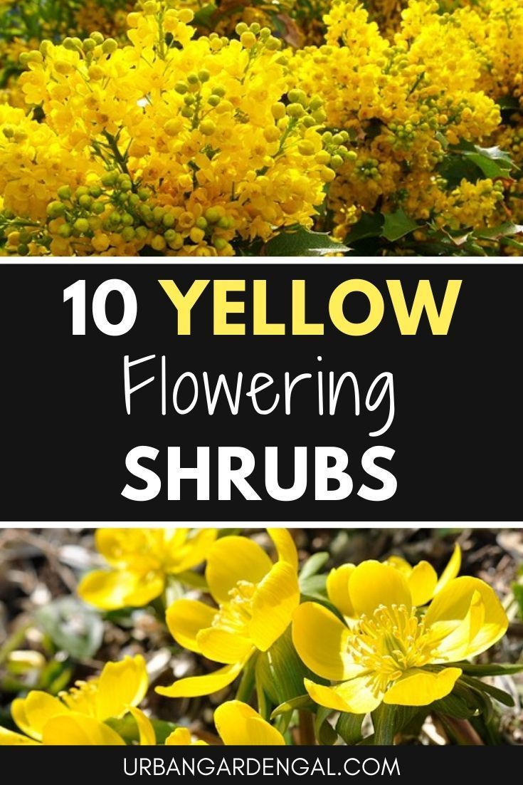 10 Yellow Flowering Shrubs In 2020 With Images Yellow