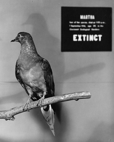Martha, the last Passenger Pigeon