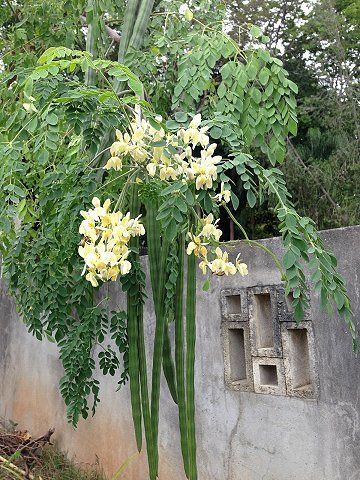 Amazing.Moringa-Miracle Tree- Moringo Oleifera.Highly nutitious, every part is edible, used by humanitarian organizations to boost nutrition in poverty stricken areas. Easy to grow, should be planted everywhere!