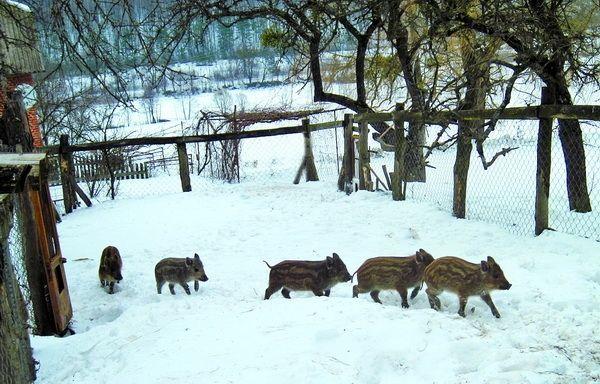 Дикі поросятка полюбляють шкірки від мандаринів. Сніг снігом, а кабанячі пологи – за розкладом… #WZ #Львів #Lviv #Новини #Життя  #поросятко