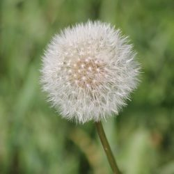 Late season dandelion ready to explode and spread it's seeds.  Lavenham, Manitoba