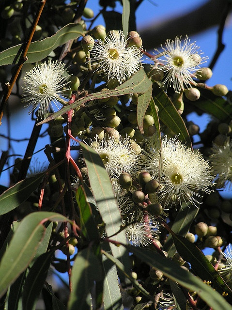 Lemon scented gum tree in flower (eucalypt).