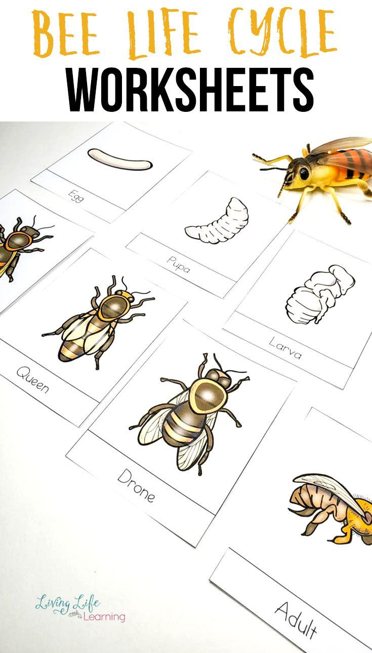 Honey Bee Life Cycle Worksheets   Bee life cycle [ 1290 x 735 Pixel ]