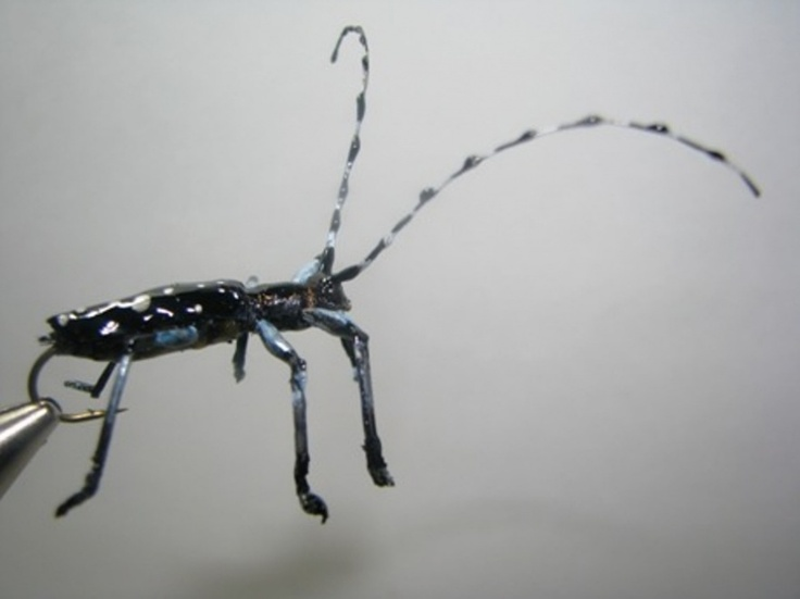 Asian Longhorned Beetle - On The Vise