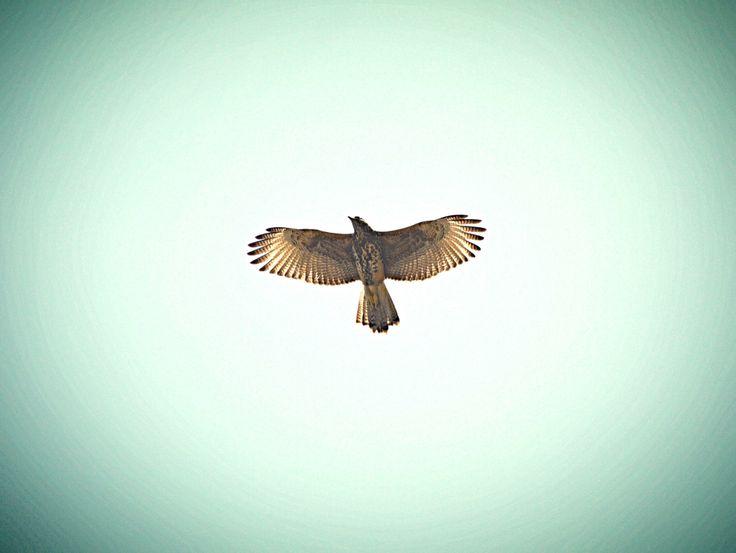 Peuco en vuelo, ave endémica de Chile. Pájaro volando / Bird flying