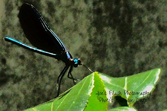 Ebony Jewelwing Damselfly taken at Quinte Conservation in Quinte West Ontario
