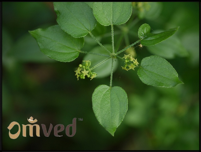According to Ayurveda, Manjishtha is the best herb to treat diseases related to skin.  Manjishtha pacifies Kapha and Pitta means it is useful in management of diseases resulting from aggravation of Kapha/ Pitta or both.  Indian Madder scraps out the unwanted deposits of the body including fatty deposits of obesity.  It is an excellent blood purifier and also helps in removing toxins out of the body.  Apply its paste to various skin disorders like itching, black spots on the face…
