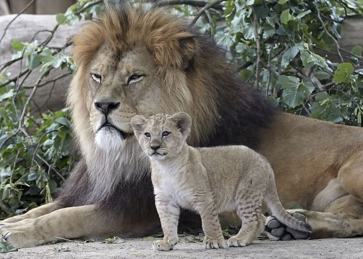 https://www.yahoo.com/news/2017-pictures-animals-slideshow-wp-100043658/photo-p-barbary-lion-cub-stands-photo-100043186.html