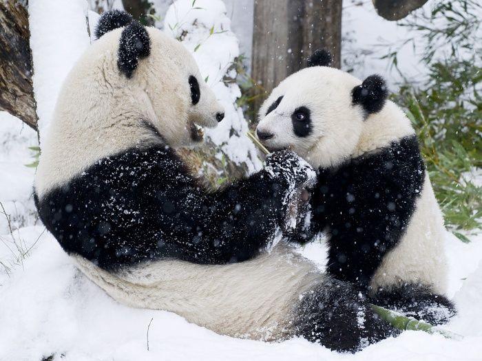 """""""O GRITO DO BICHO"""": Ursos panda curtindo a neve.... lindos!!!!! #ogritodobicho #falabicho"""