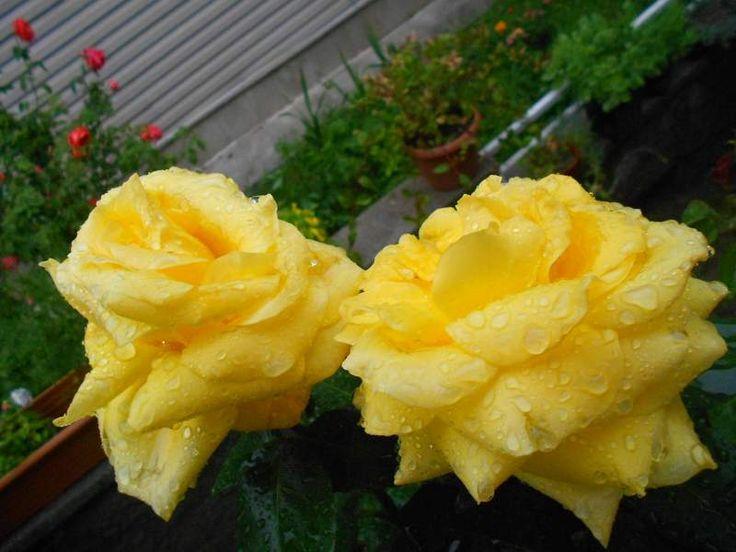 Sarı Gül Gülenyüz-Bahçem - Sayfa 34