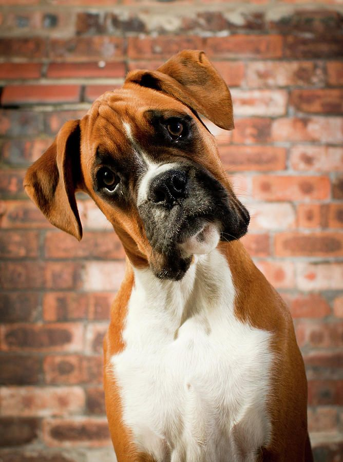 ✮ Boxer Puppy....I love when they tilt their head like this! Favorite characteristic of boxers :)