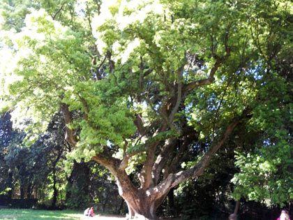 Alberi monumentali, il canforo e la magnolia del bosco di Capodimonte, Napoli