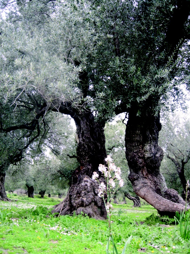 The Greeks have raised the olive and its oil to a place in their culture which is unrivalled by any other substance. Throughout the world, all cultures and faiths have embraced the healing and nutritional powers of olive oil and this is affirmed by the core of Theophrastus social botany philosophy: which allows us to embrace marginalised youths from inner city London to be given a sense of purpose, well being and recompense.