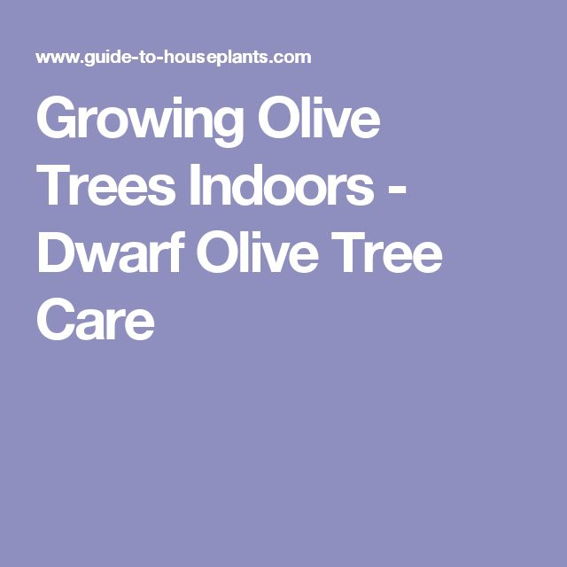 25 trending olive tree care ideas on pinterest potted for Growing olive tree indoors
