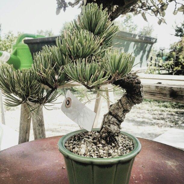 Pinus Pentaphylla shoin
