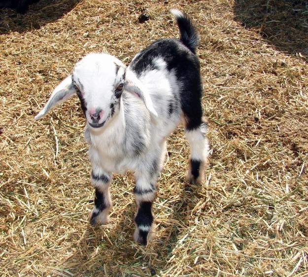 Can Goats Eat Glass