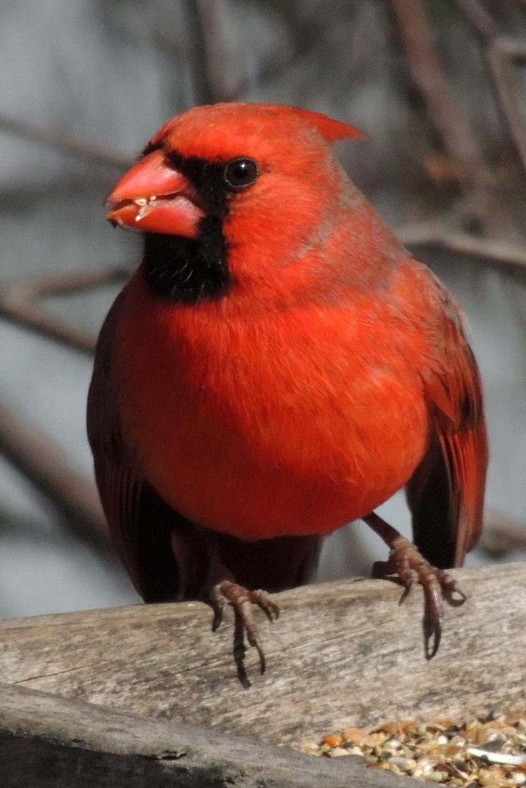 435 best cardinals images on pinterest cardinal birds beautiful