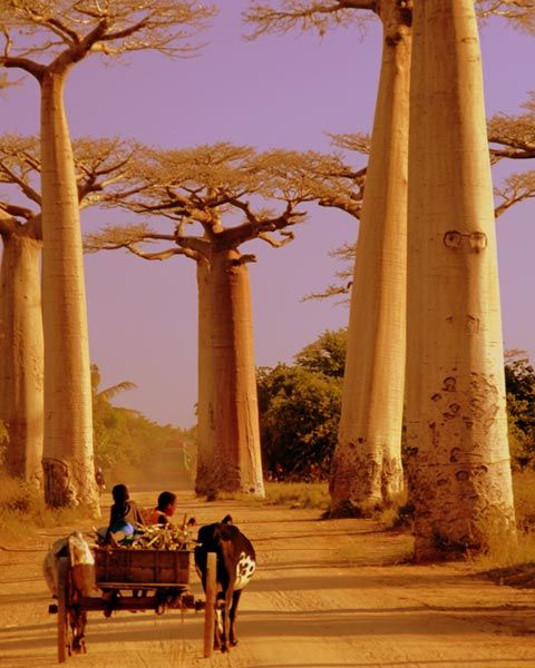 Avenue of Baobabs, Madagascar The so-called Avenue of the Baobabs is a remarkable collection of the huge Malagasy species of baobab, which is endemic to Madagascar. Growing up to 30 metres high, and living for up to 800 years, these trees once stood in dense tropical forest but now tower in lonely isolation. Their immense fire-resistant trunks can reach diameters of 11 metres and can store a mind-boggling 120,000 litres of water to survive through nine months of the dry season.