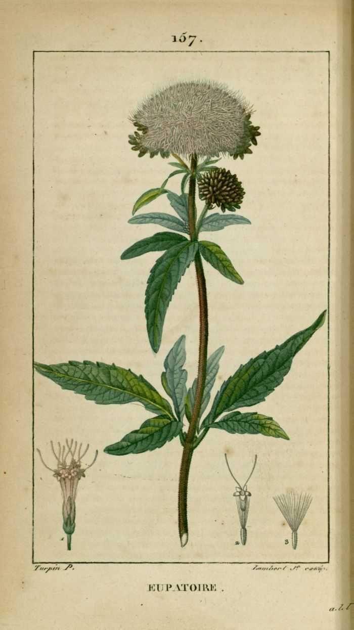 img/dessins-gravures de plantes medicinales/eupatoire, eupatoire commun, a feuilles de chanvre, d'avicenne, de mesue.jpg