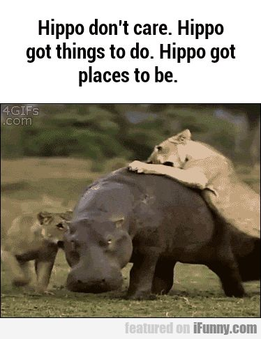 Hippo Goes Where He Pleases