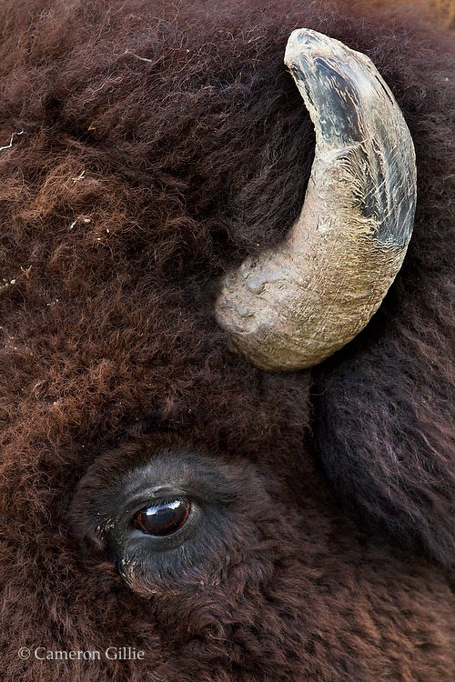 American Bison with tough horns