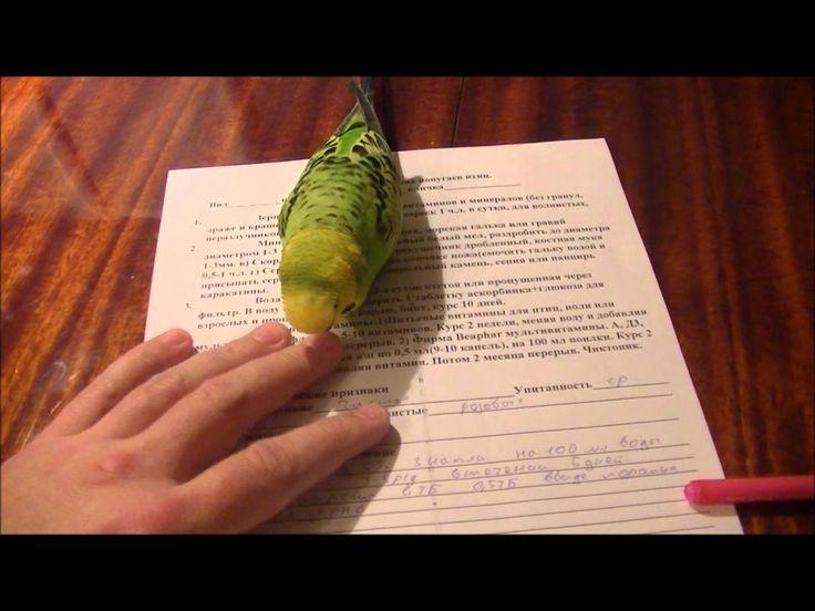 Лечение птиц  На вызове у любвиобильного попугая.