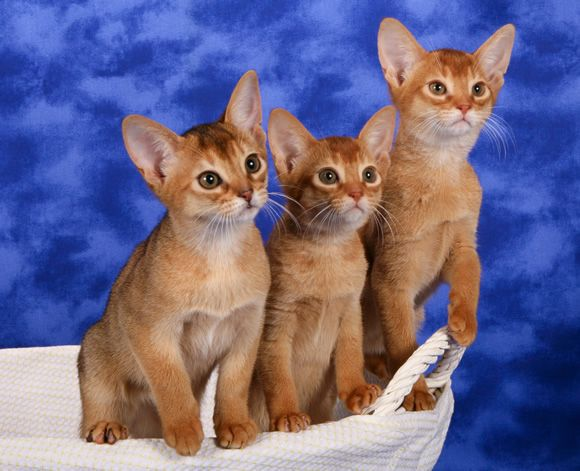 The beauty of Abyssinian kittens.