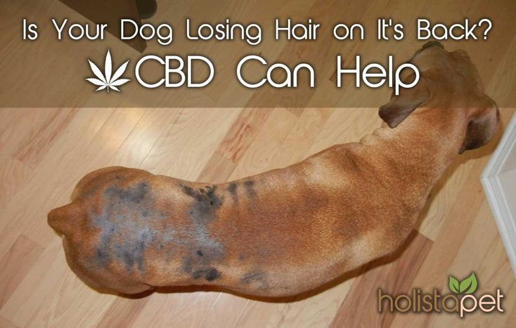 Is your dog losing hair on it's back? Learn what causes hair loss and how #cbdoil can help treat it #CBDfordogs : http://bit.ly/2BEcZCa