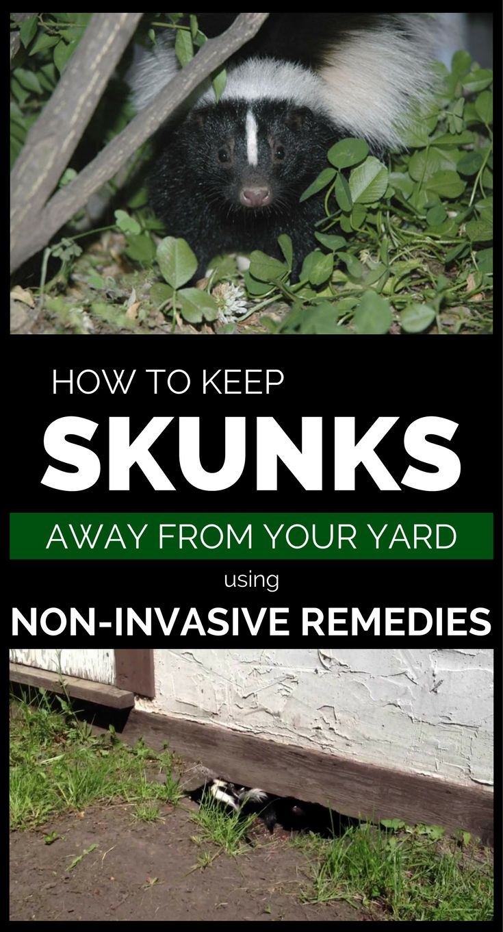 How To Keep Skunks Away From Your Property Using Non ...