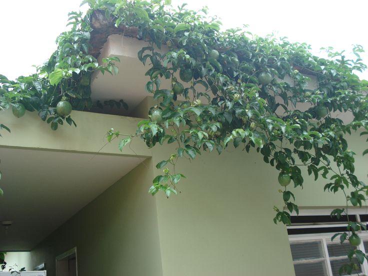 Plantio de maracujá orgânico na cidade