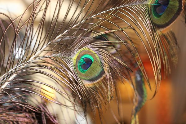 Gorgeous Peacock feathers