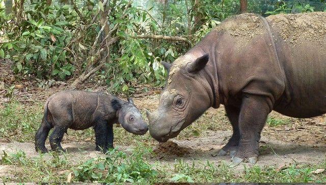 Sumatran Rhinos Declared Extinct In Malaysia