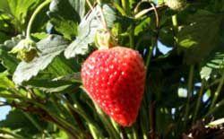 Planting fall strawberry plants