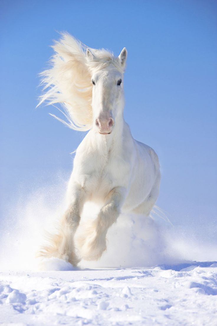 White Gallop. Beautiful white horse galloping through the crisp white snow.