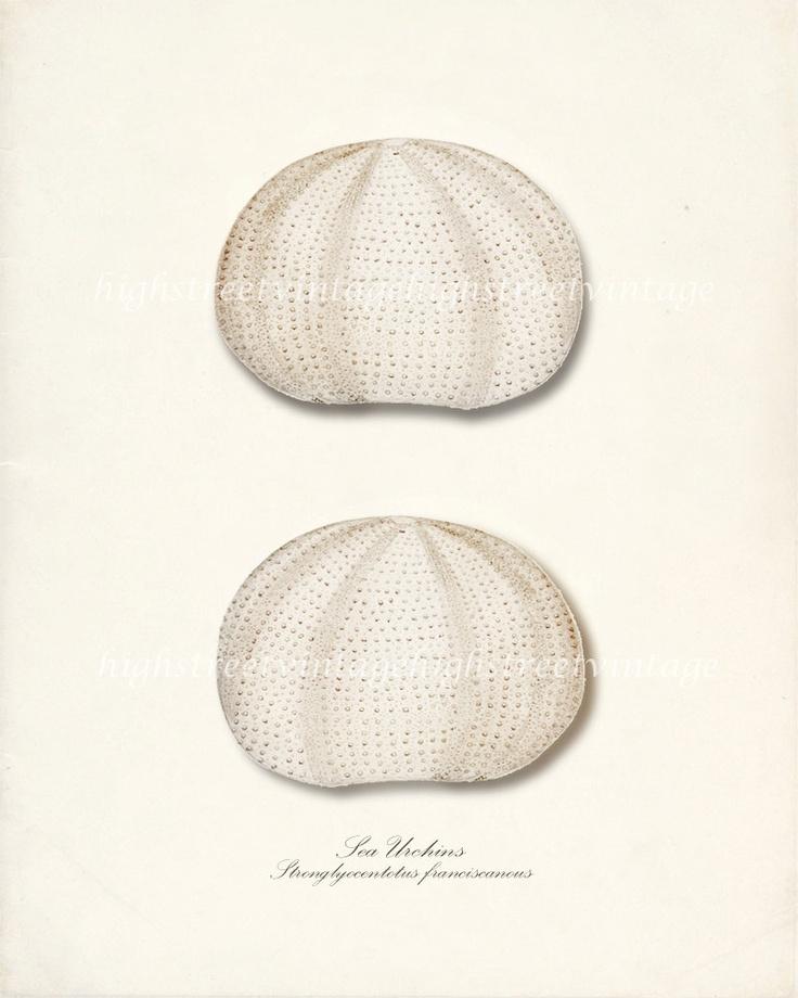 Vintage Sea Shell Art Print - Sea Urchins Wall Decor 8x10 #shell #art