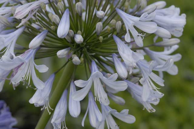 Agapanthus Blue Ice bred and originating from CND Nursery