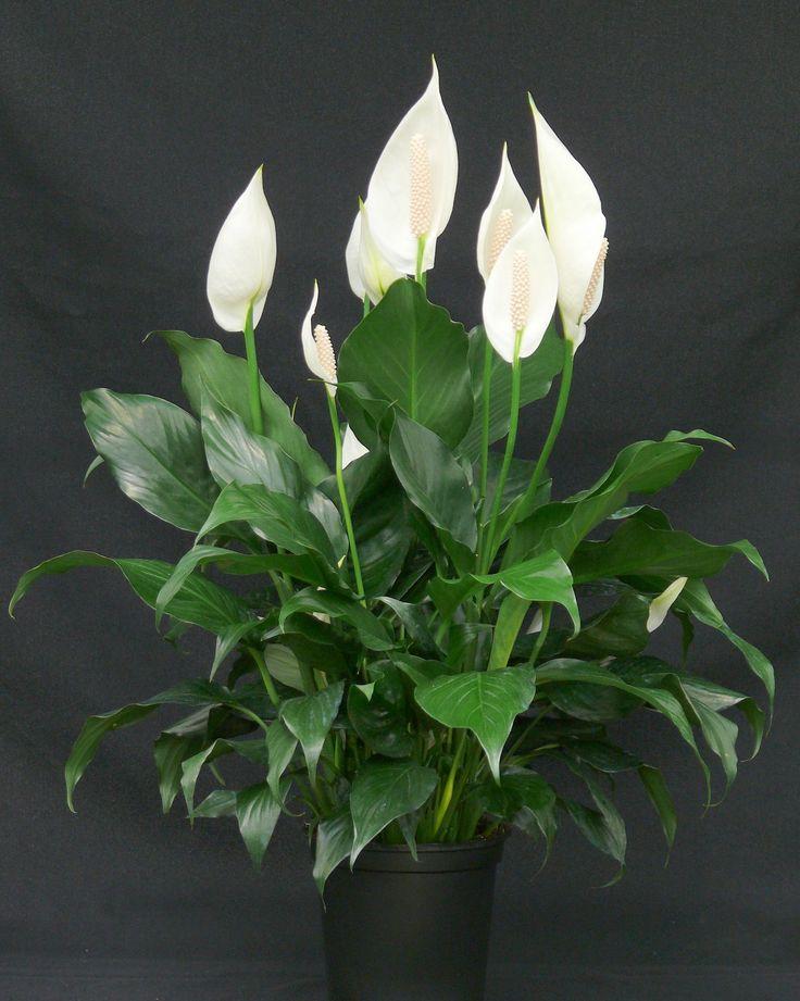 Spathiphyllum  - Wenig Licht - Wasser wöchentlich - Verliert monatlich  * Giftig für Katzen und Hunde