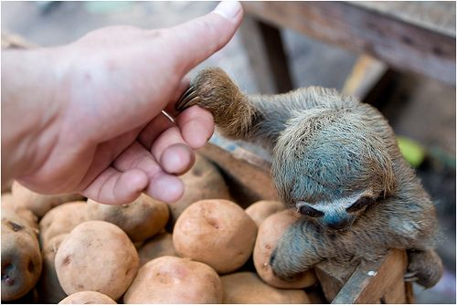 sloth sloth sloth sloth sloth sloth: Hand, Bucket List, Babies, Animals, 3 Sloths, Baby Sloths, Baby Animal, Things, Friend