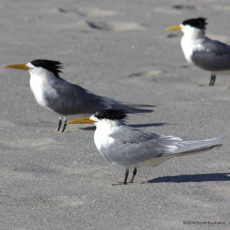 Greater Crested Tern - Denmark, Western Australia - ©2014 Scott Buckland