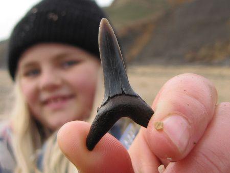 Fossil Striatolamia shark tooth from the London Clay at Walton-on-the-Naze